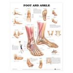 Foot Ankle Chart