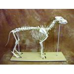 Canine Anatomical Skeleton Bosley Dog (Large)