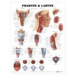 Pharynx and Larynx Chart