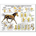Equine Chart - Forelimb Regional Joint Anatomy Wall Chart