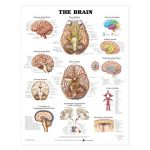 Brain Chart - Brain Nerves and Vessels