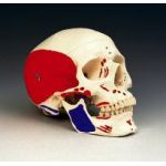 Skull Anatomical Model Painted Musculature