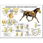 Equine Chart - Hindlimb Regional Joint Anatomy Wall Chart