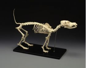 Canine Skeleton Standard Size Dog