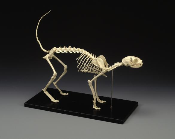 Feline Anatomical Mounted Skeleton LFA # 2020