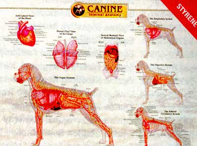 Canine Internal Organ Chart - Wall Chart