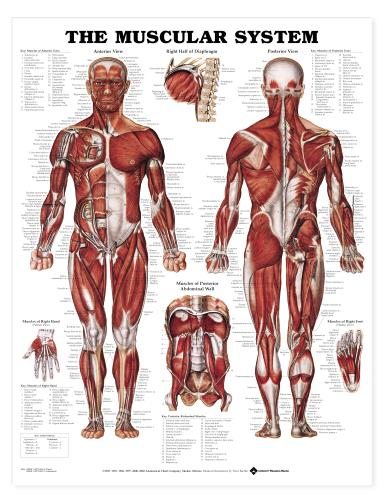 Muscular System Chart- The Human Muscular System (Male)