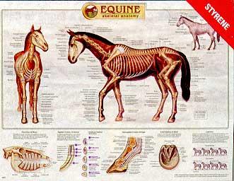 Equine Skeletal Anatomy Wall Chart