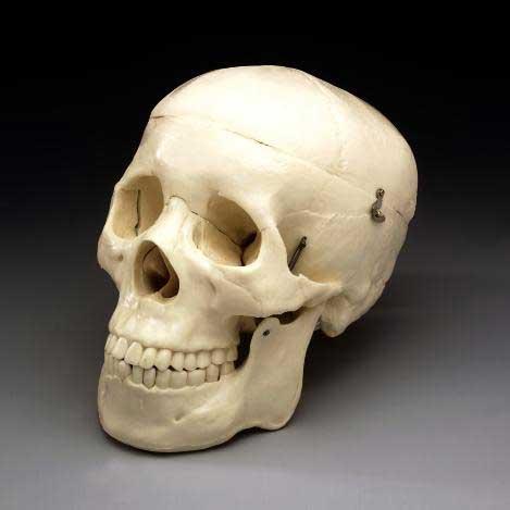 Image result for image of teeth skeleton