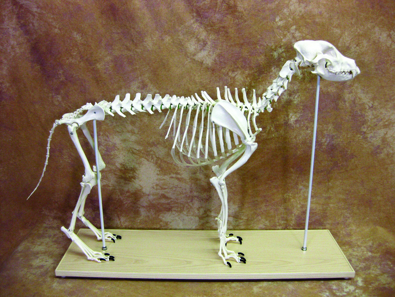 Canine Anatomical Skeleton Bosley Dog Large