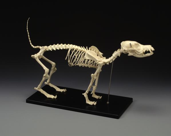 Dog Skull Anatomical Moded Caninel