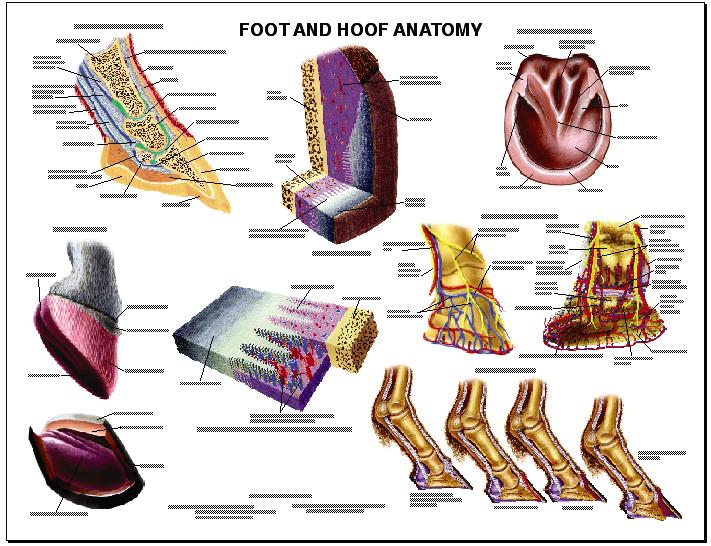 LFA #2540 Equine Foot and Hoof Anatomy Wall Chart