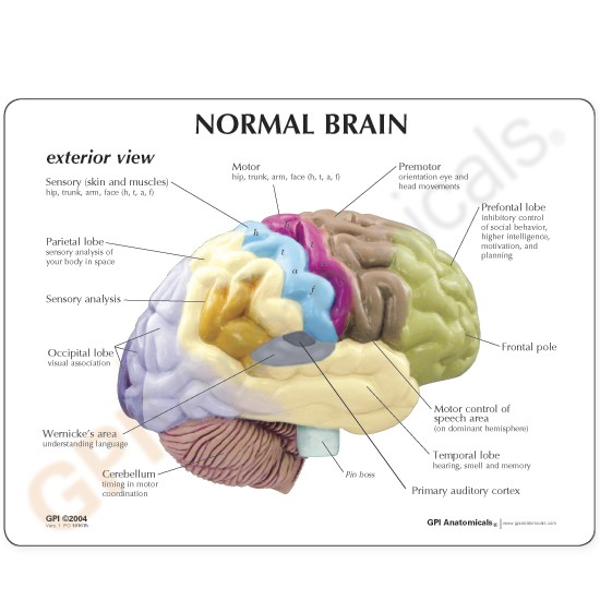 Half-Section Human Brain Anatomical Model