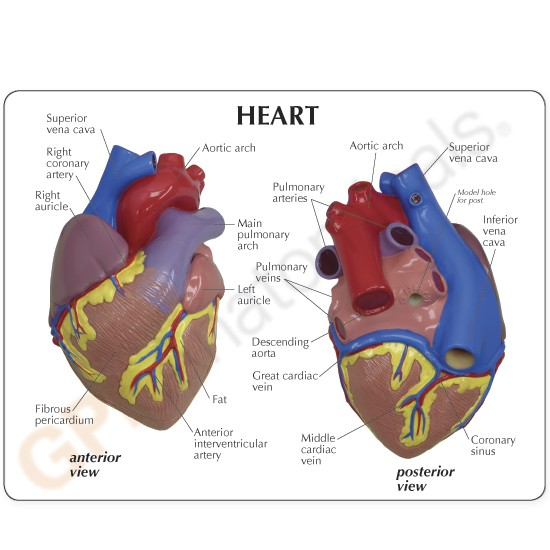 Heart Anatomical Model LIFE SIZE MOST POPULAR