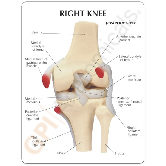 Knee joint anatomical model unmuscled ccuart Images
