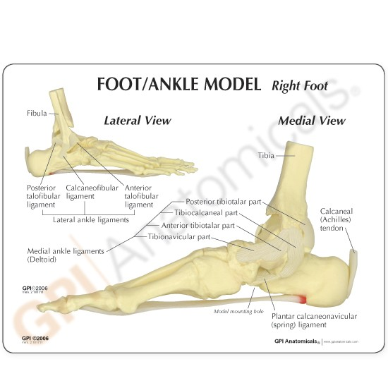 Bones And Joints Of The Foot And Ankle Overview Manual Guide