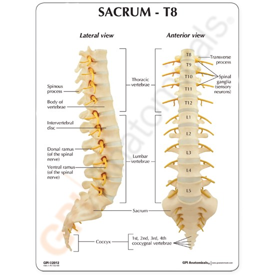 Sacrum L1 L5 T8 T12 Vertebrae Anatomical Model W Key Card Spine New Lfa 1510