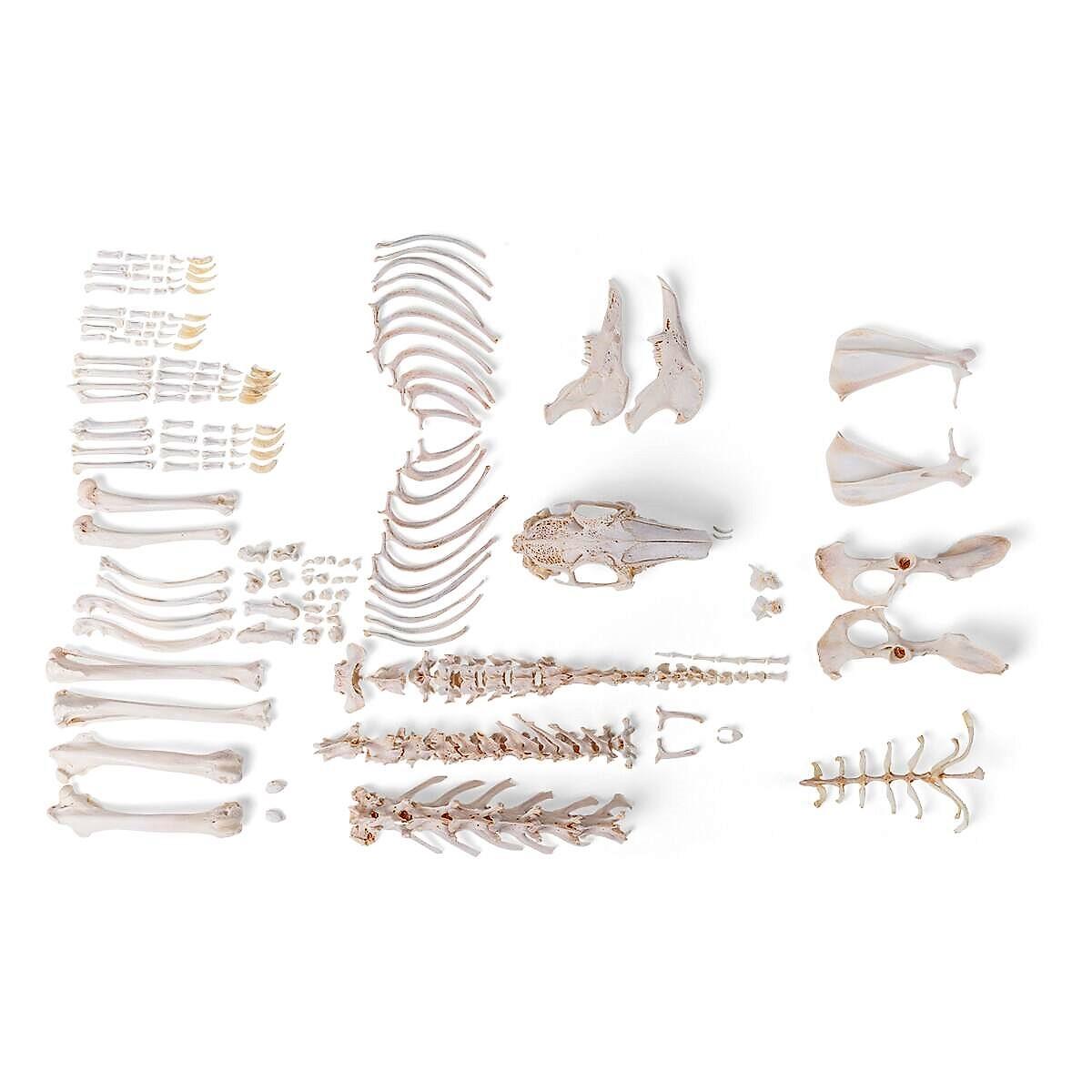 Canine Real Bone Complete Skeleton Mounted K9 Dog