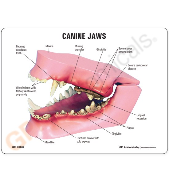 Lfa 8150 Veterinary Anatomy Key Card Set Of 18