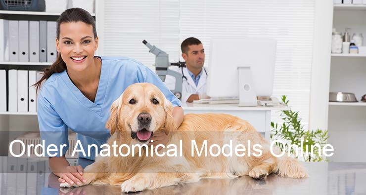 High-quality Medical and Veterinary 3-D Anatomical Models Lake ...