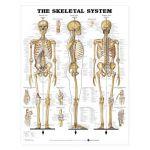 Skeletal System Chart Human Comprehensive MOST POPULAR