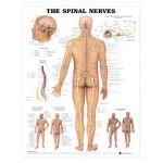 Spinal Nerves Chart - The Spinal Nerves