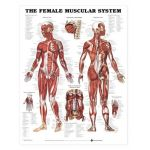 Female Muscular System Chart - The Female Muscular System