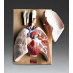 Respiratory Organs Heart Lung Anatomical Model
