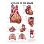 Heart Anatomy Chart - Anatomy of the Heart