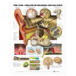 Ear Chart - Organs of Hearing and Balance