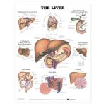 Liver Chart - The Liver