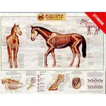 Equine Skeletal Anatomy Wall Chart Laminated