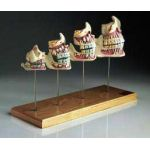 Teeth & Jaw Development Set Professional Dental Model