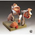 Male Genital Organs Anatomical Model Deluxe Professional