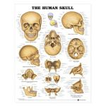 Skull Chart - The Human Skull