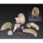 Brain Anatomical Model Deluxe 8-Part Brain w Arteries Professional