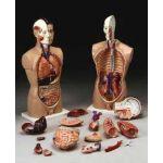 Torso Anatomical Model Budget  Most Popular Model