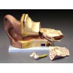 Ear Anatomical Model GIANT 4 Times Life Size