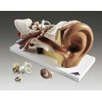 Ear Anatomical Model 4 Part Professional