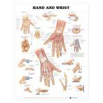 Hand Wrist Chart - Hand and Wrist