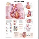 Heart Chart - The Human Heart