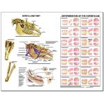 Equine Chart - Dental Anatomy Wall Chart