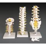 Lumbar Vertebrae Flexible  Anatomical Model REGIONAL #3 of 3 Set
