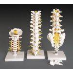 Cervical Thoracic Lumbar Vertebrae Flexible Anatomical Model REGIONAL SET OF 3 LFA # 2399 SPECIAL OFFER