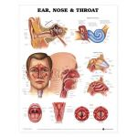 Ear Nose Throat Chart