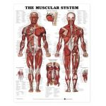 "Muscular System Chart- GIANT The Human Muscular System (Male) Giant 42"" x 62"""