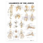 Ligaments Chart - Ligaments of the Joints