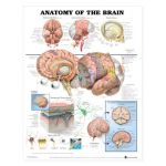 Brain Chart - Anatomy of the Brain