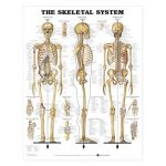 "Skeletal System Chart GIANT  42"" x 62"""