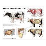 Bovine Anatomy Chart Cow